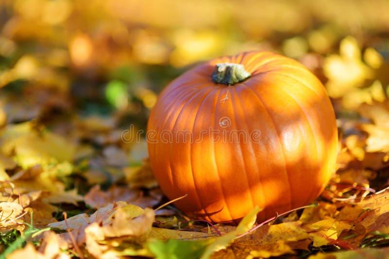 Calabaza anaranjada grande que pone en la tierra cubierta con las hojas de otoño fotografía de archivo