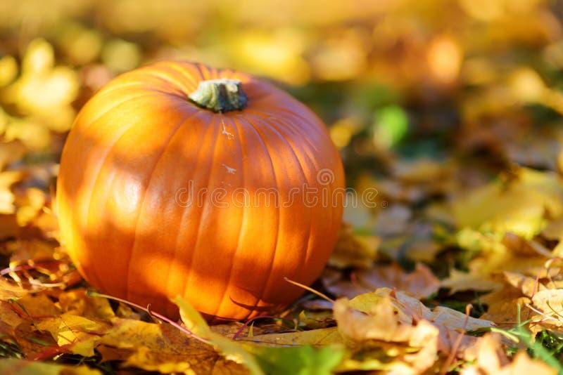 Calabaza anaranjada grande que pone en la tierra cubierta con las hojas de otoño imagenes de archivo