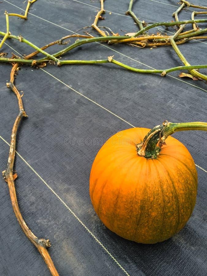 Calabaza anaranjada que crece en un remiendo vegetal fotografía de archivo libre de regalías