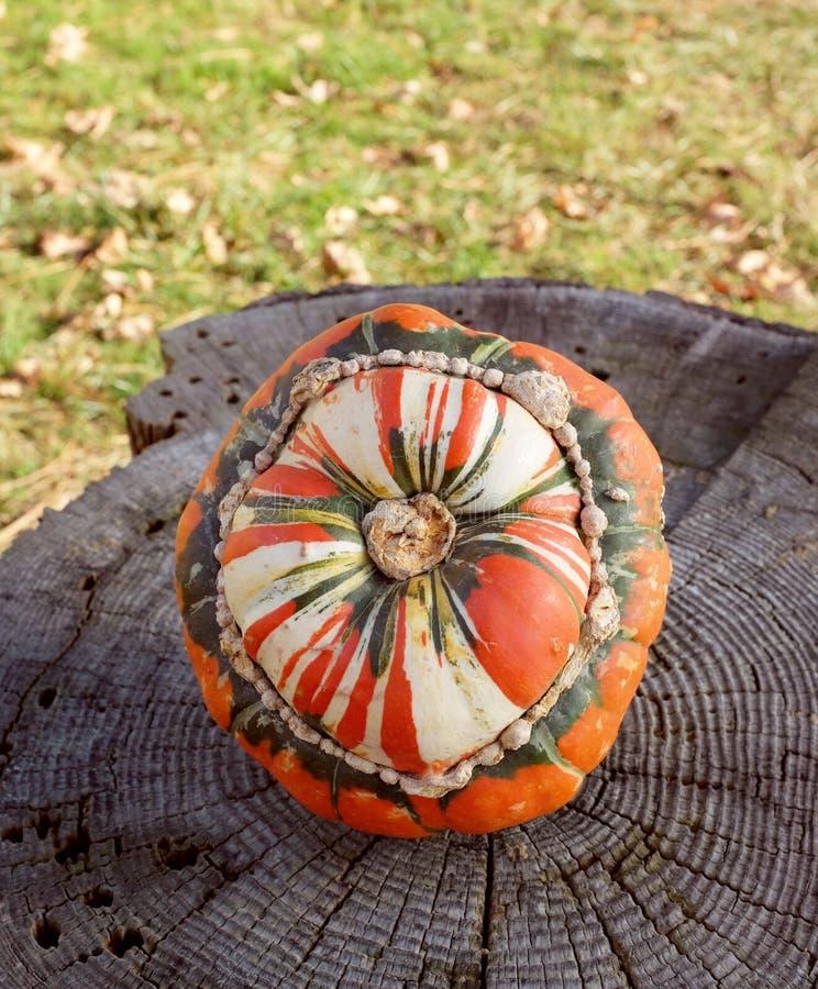 Calabaza de turbante rayada de los turcos en un tocón de árbol áspero imagen de archivo libre de regalías