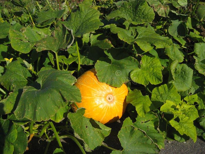 Calabaza que crece en el jardín fotografía de archivo