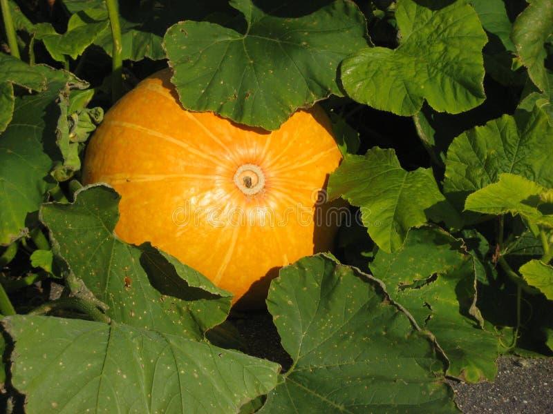 Calabaza que crece en el jardín imagen de archivo