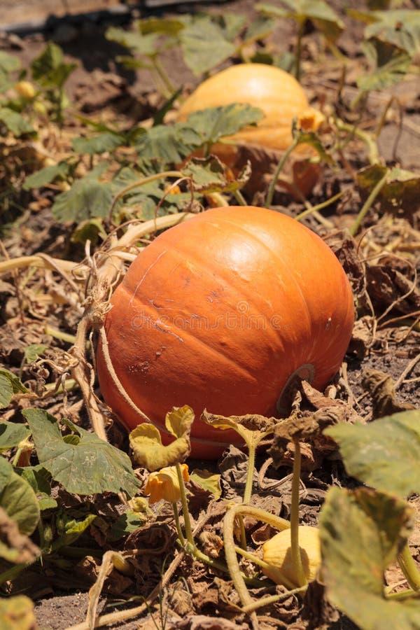 Calabaza que crece en un remiendo orgánico de la calabaza del jardín foto de archivo