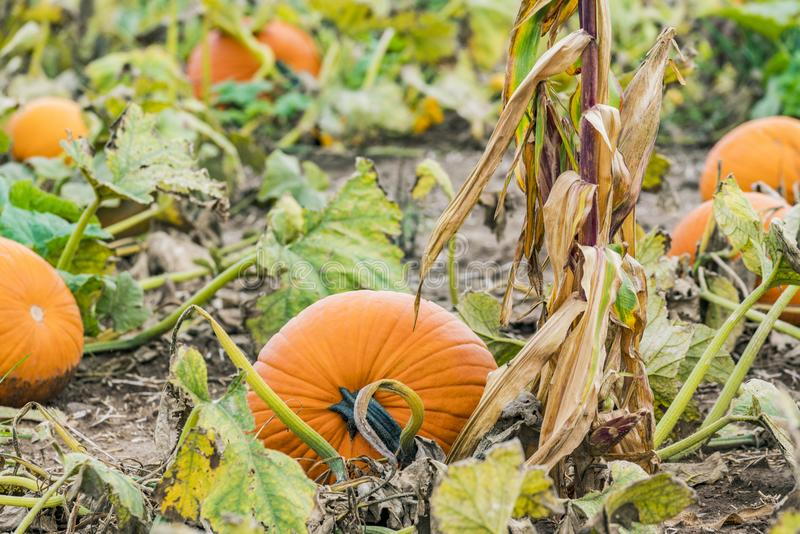 Calabaza redonda que crece en vid en campo del remiendo de la calabaza al lado del maíz imagen de archivo