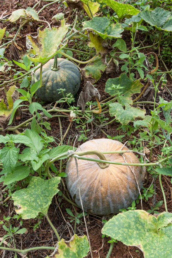 Calabaza verde que crece en el remiendo vegetal fotos de archivo