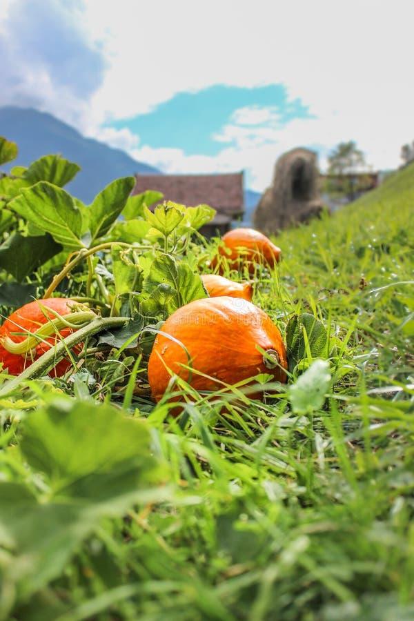 Calabazas anaranjadas Hokkaido que está situado en un fild verde para Halloween imagen de archivo libre de regalías
