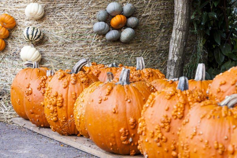 Calabazas grandes de la calabaza del cucurbita de Halloween Halloween a partir del otoño h fotos de archivo