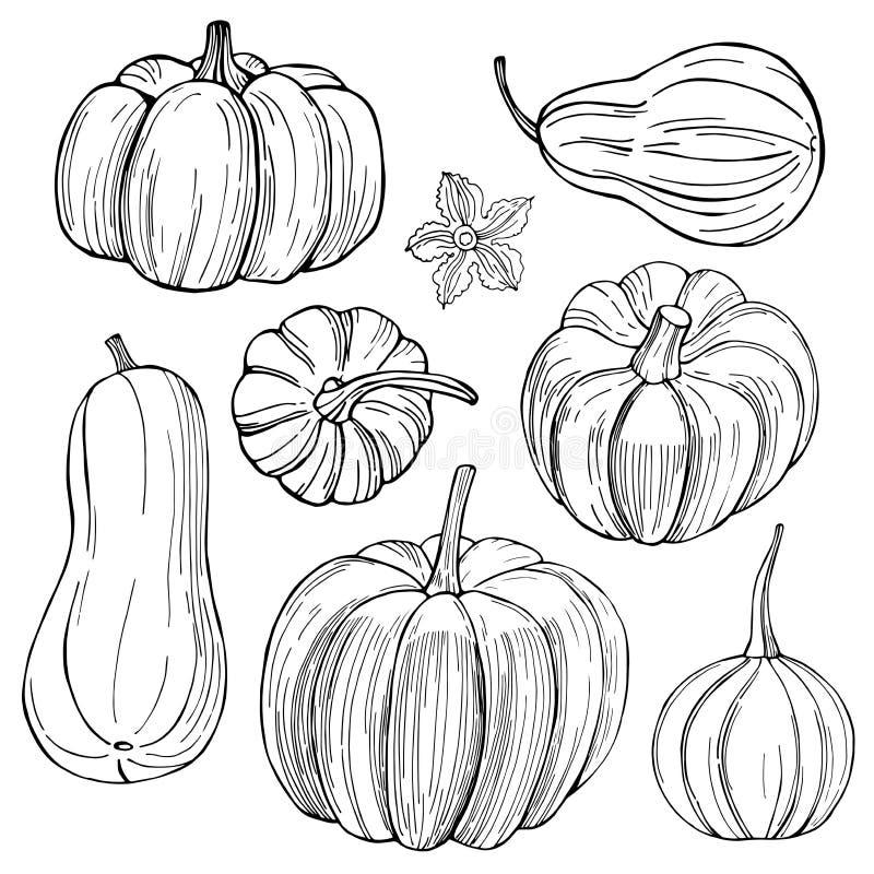 Calabazas Verduras dibujadas mano en el fondo blanco Vector SK imágenes de archivo libres de regalías