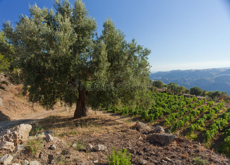 calabria olive tree royaltyfria bilder