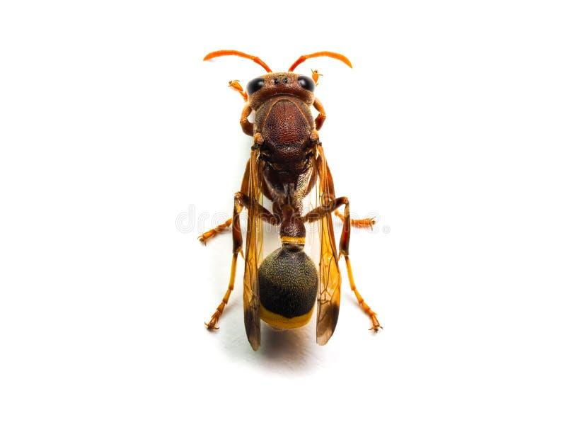 Calabrone rosso della vespa isolato su fondo bianco immagini stock
