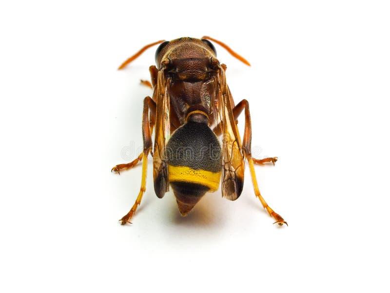 Calabrone rosso della vespa isolato su fondo bianco fotografia stock libera da diritti