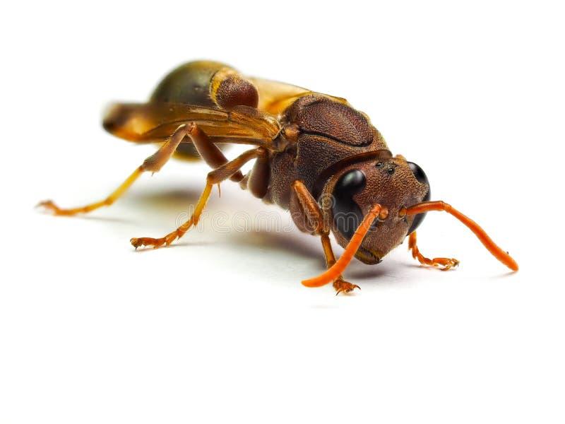 Calabrone rosso della vespa isolato su fondo bianco immagini stock libere da diritti
