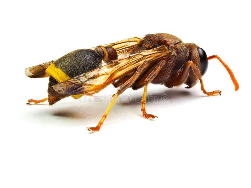 Calabrone rosso della vespa isolato su fondo bianco fotografie stock libere da diritti