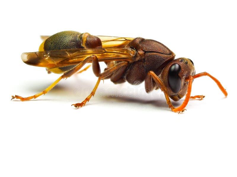 Calabrone rosso della vespa isolato su fondo bianco fotografia stock