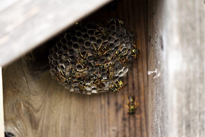 Calabroni neri e gialli che costruiscono alveare sul recinto di legno immagine stock libera da diritti