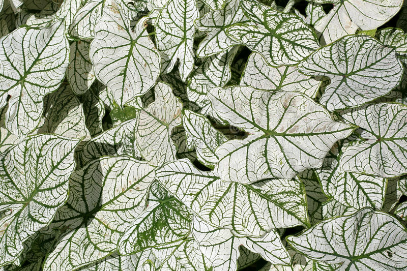 caladium obrazy royalty free