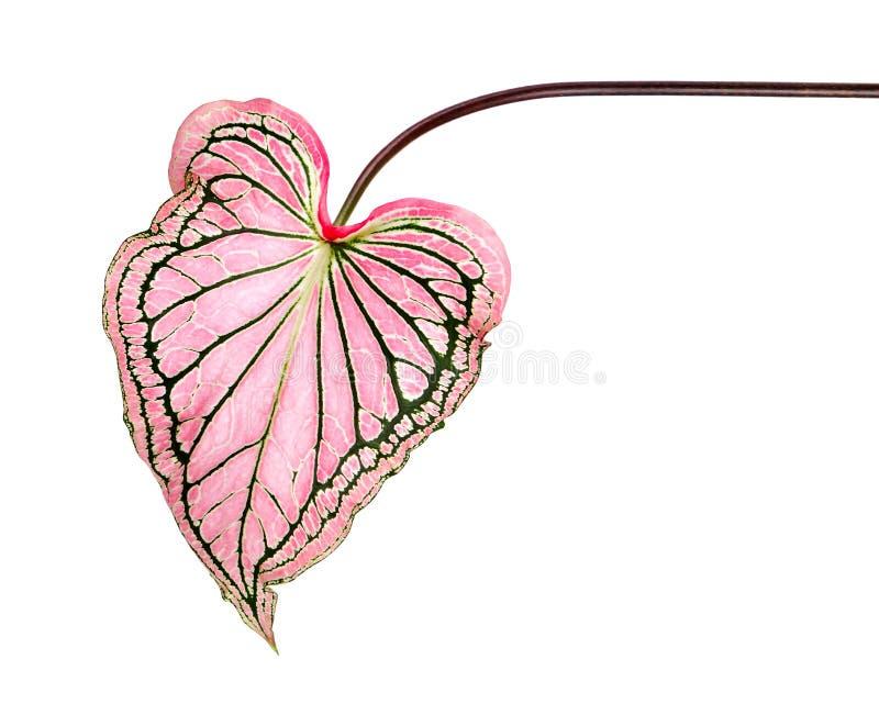 Caladium bicolor con la foglia e l'innamorato rosa di Florida delle vene di verde, fogliame rosa del Caladium isolato su fondo bi immagini stock