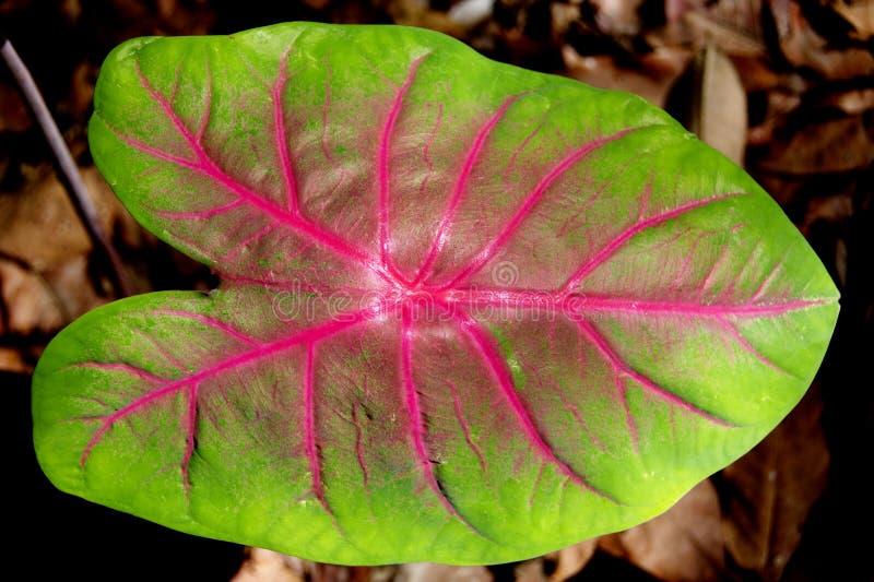 Caladium Bicolor Leaf stock photos