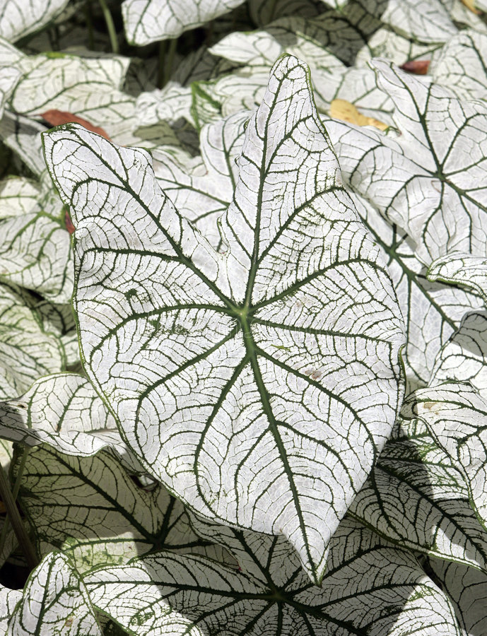 Caladium Leaf royalty free stock photography