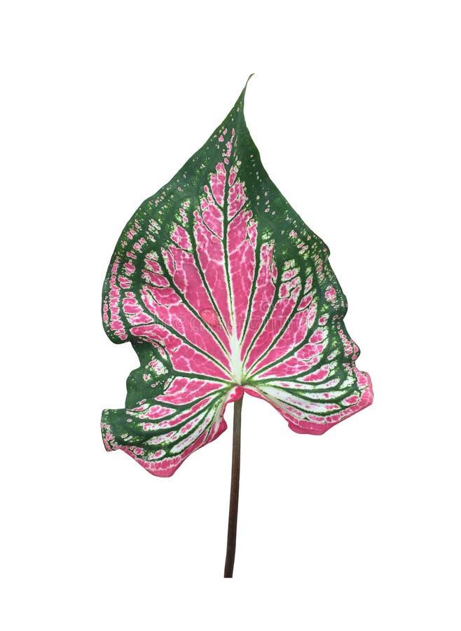 Caladium leaf. royalty free stock photo