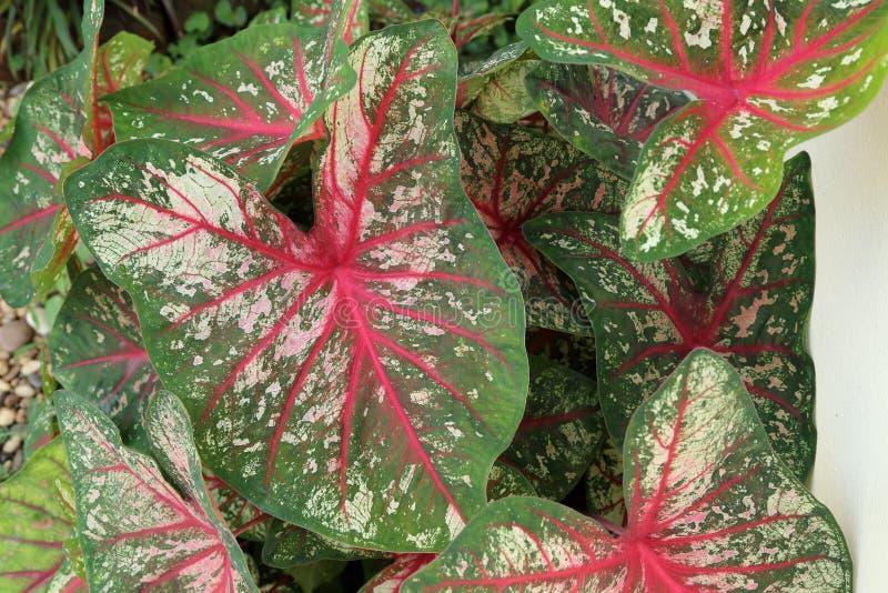 Caladium Leaved operato, fondo della pianta fotografie stock