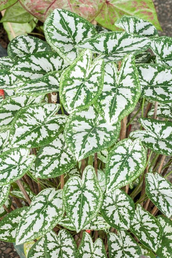 Caladium (regina della pianta frondosa) fotografia stock