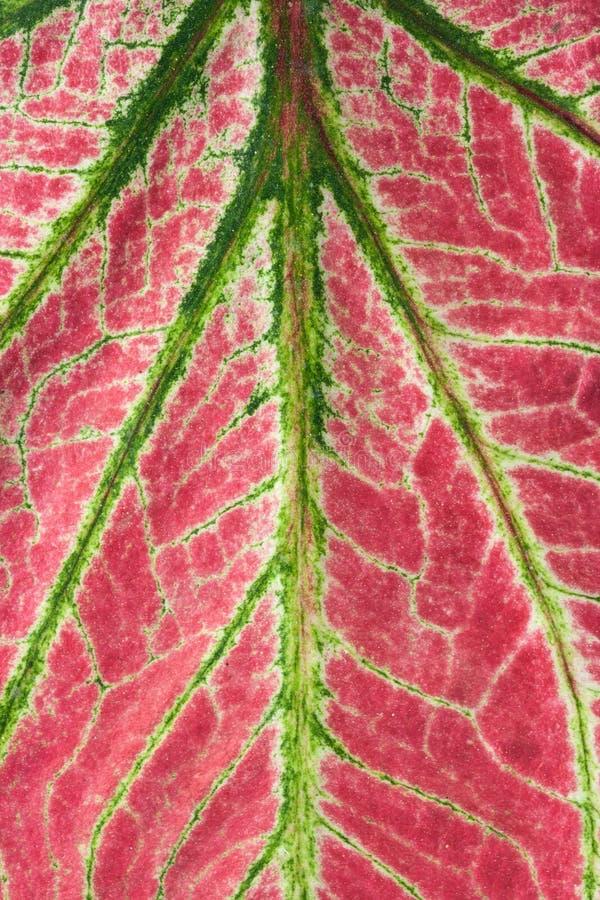 Caladium (regina della pianta frondosa) immagini stock