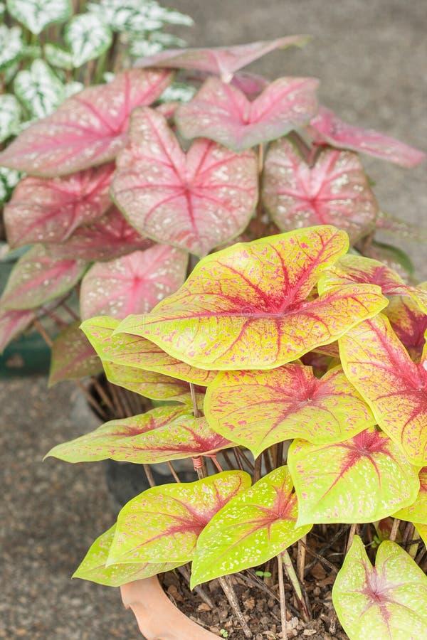 Caladium (regina della pianta frondosa) fotografie stock