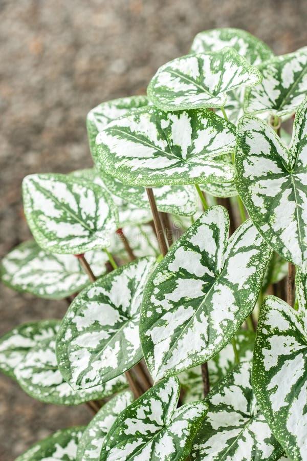 Caladium (regina della pianta frondosa) immagini stock libere da diritti