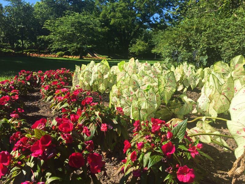 Caladiums i Magenta Kwitną w ogródzie zdjęcie stock