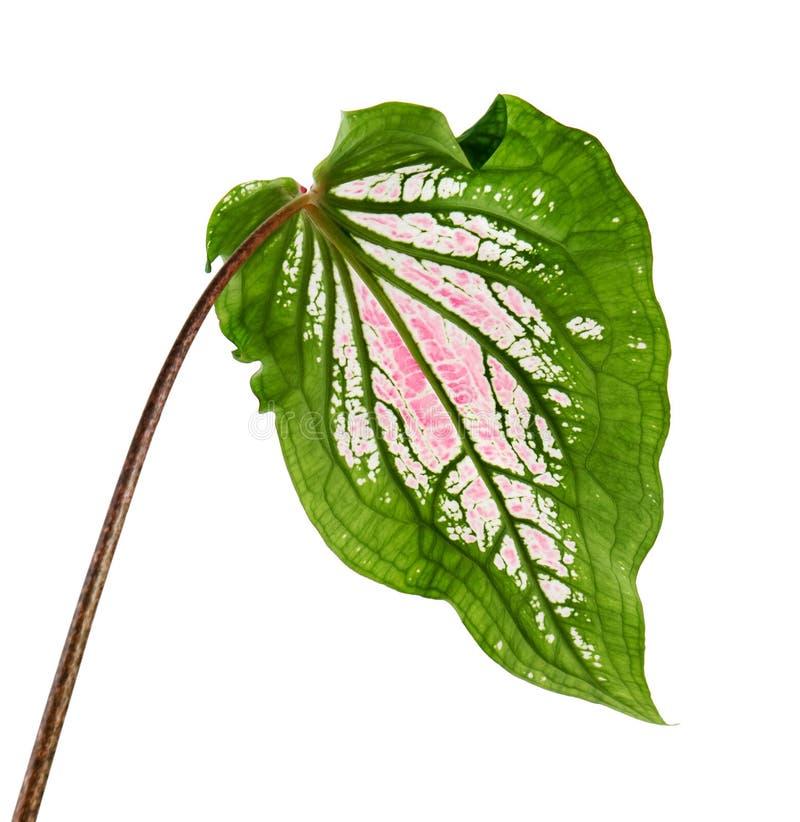 Caladiumzweifarbiges mit rosa Blatt und Grün adert Florida-Schatz, das rosa Caladiumlaub, das auf weißem Hintergrund lokalisiert  lizenzfreie stockbilder