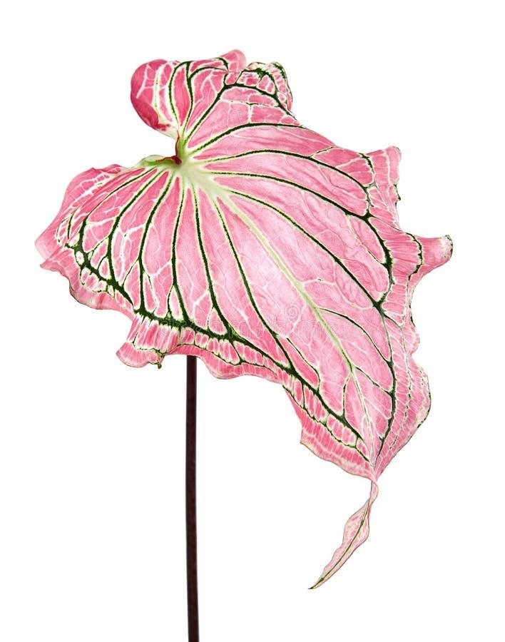 Caladiumzweifarbiges mit rosa Blatt und Grün adert Florida-Schatz, das rosa Caladiumlaub, das auf weißem Hintergrund lokalisiert  lizenzfreie stockfotografie