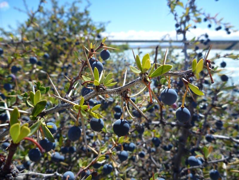 Calafate azul típico del EL de la baya en Patagonia argentina imágenes de archivo libres de regalías