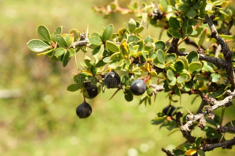 Calafate, Frucht des Südens der Welt Williams-Hafen, chilenischer Patagonia stockfotos