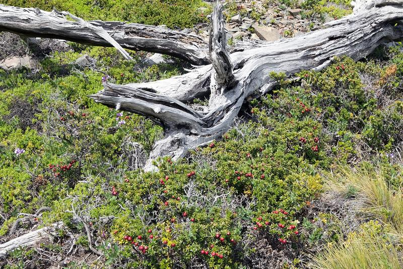 Calafate porte des fruits en parc national de Torres del Paine, région de Magallanes, Chili du sud photographie stock
