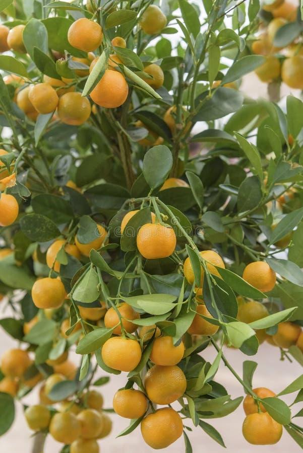 Calamansi citrus microcarpa, Citrofortunella mitis, filippinsk limefrukt Citrus bland mellan kumquaten och mandarinen arkivbilder