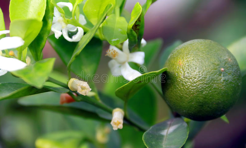 Calamansi frukt arkivfoton