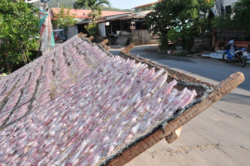 Calamar secado o calamari secado en la bandeja neta en un proceso de las técnicas de sequía de la comida de Sun Conservación de a imagenes de archivo