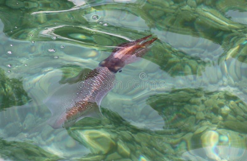 Calamar vivo en la agua de mar imagenes de archivo