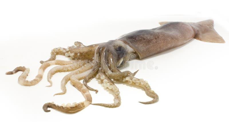 Calamaro fotografie stock libere da diritti