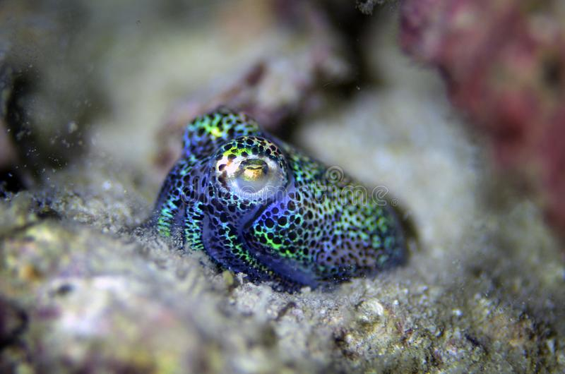 Calamaro fotografia stock