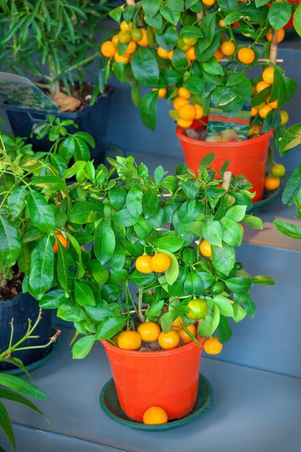 Calamondin drzewo fotografia royalty free