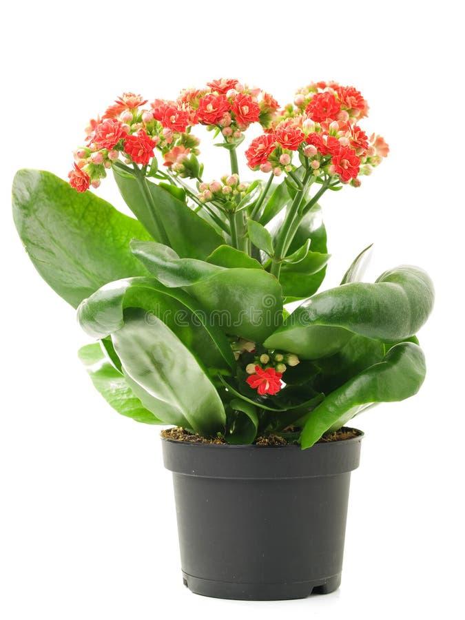 Calandiva flower stock photos