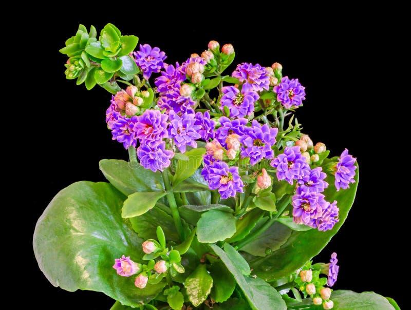 Calandiva mauve fleurit, Kalanchoe, Crassulaceae de famille, fin, fond noir image libre de droits