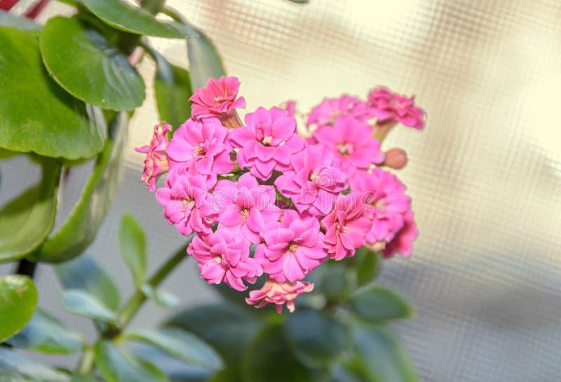 Calandiva rosado florece, Kalanchoe, Crassulaceae de la familia, cierre para arriba imagenes de archivo