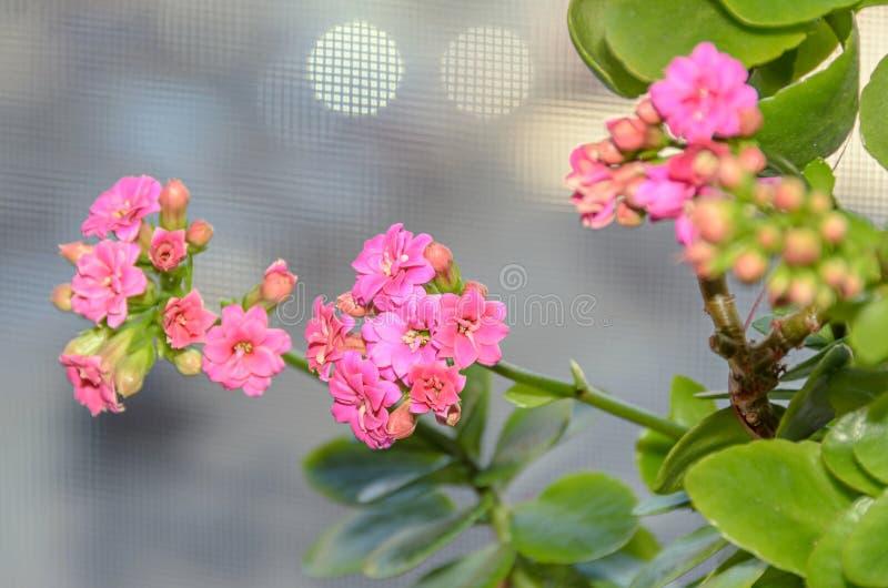 Calandiva rosado florece, Kalanchoe, Crassulaceae de la familia, cierre para arriba imagen de archivo