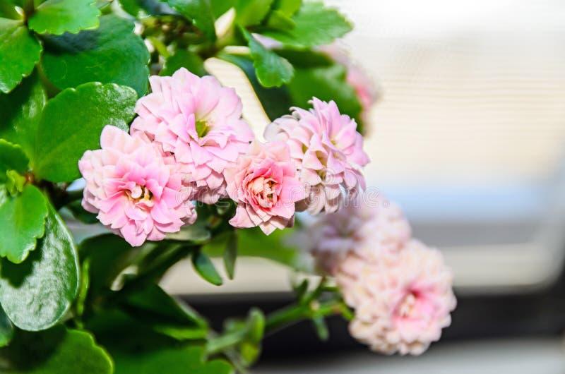 Calandiva rosado florece, Kalanchoe, Crassulaceae de la familia, cierre para arriba foto de archivo