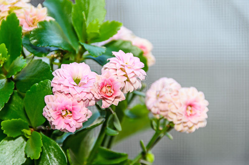 Calandiva rosado florece, Kalanchoe, Crassulaceae de la familia, cierre para arriba imagen de archivo libre de regalías