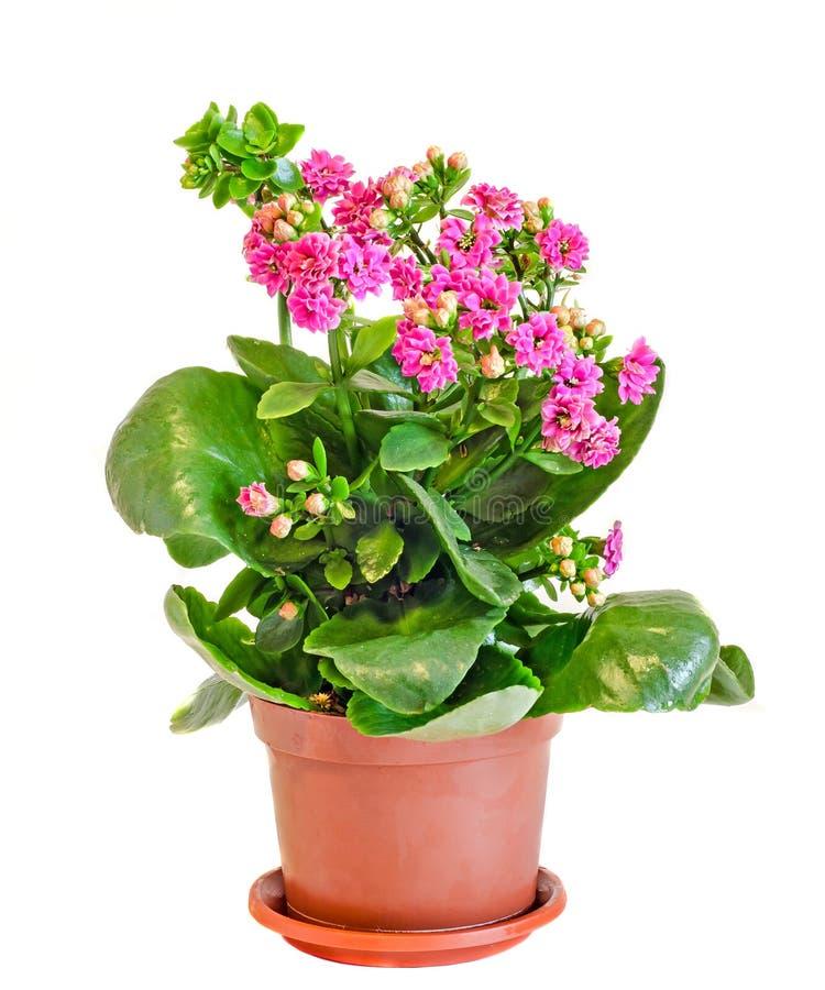 Calandiva rosado florece, Kalanchoe, Crassulaceae de la familia, cierre para arriba, el fondo blanco foto de archivo libre de regalías