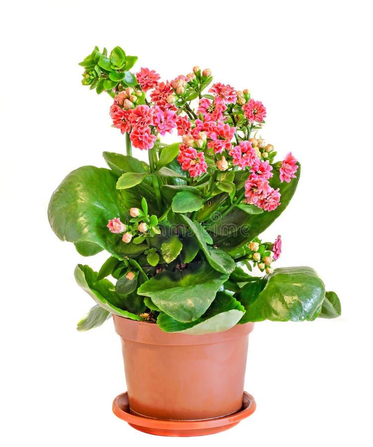 Calandiva rosado florece, Kalanchoe, Crassulaceae de la familia, cierre para arriba, el fondo blanco imagen de archivo libre de regalías